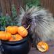 Дикобраз Тэдди очень любит тыкву! Удивительная зверушка буквально взорвала интернет!