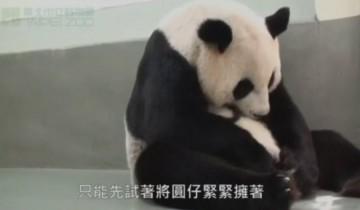Трогательная встреча мамы-панды с ее малышом!