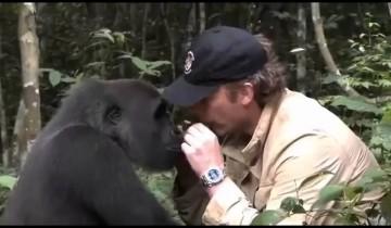 Встреча человека с гориллой, которую он когда-то вырастил. Поведение животного удивит!