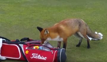 Что эта хитрая лиса вытащила из сумки гольфиста?