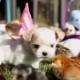 Милые пасхальные щенки собрали более 2 миллионов просмотров и стали звездами Интернета