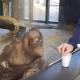 Парень показывает обезьянке фокус, но кто бы мог подумать, что она так на это отреагирует!