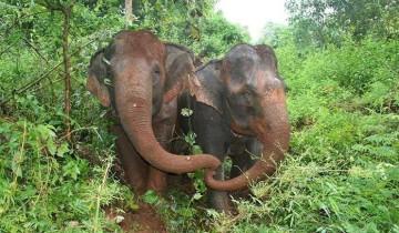 Вы только посмотрите, как слепой слон скорбит по своей подруге