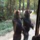 Медведи бегут за автобусом с туристами на задних лапах