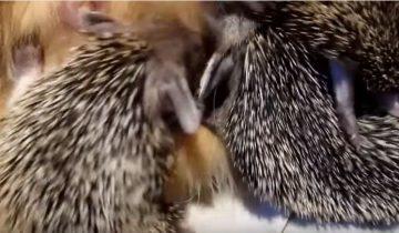 Мама кошка кормит осиротевших ежат. Такого вы еще не видели!