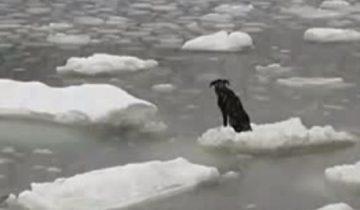 Эта собака дрейфовала на льдине. Что бы с ней случилось, если бы не этот человек?