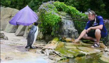 Самка пингвина панически боялась воды. Вот, как ее учили плавать