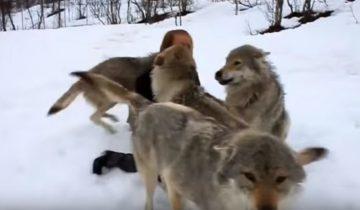 И волки помнят добро. Невероятная история!