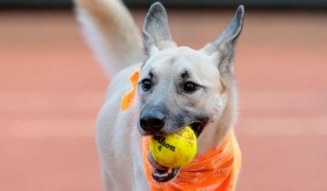 Дворовые собаки приносят шарики во время теннисного тура