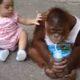 Малыш орангутанга очень любит молоко