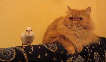 Неуемный попугай достает кота