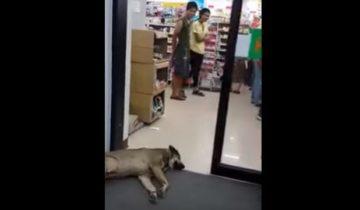 Автоматическая дверь бьет по голове спящую собаку. Реакция людей просто поражает!