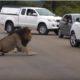 Грозный лев поставил слишком любопытных туристов на место