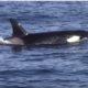 Касатки устроили погоню за стаей из тысячи дельфинов