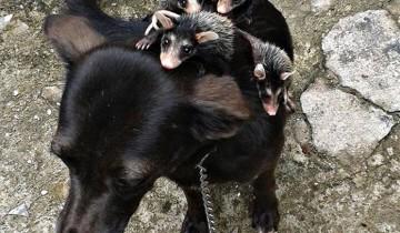 Эта собака стала мамой для осиротевших опоссумов. Это нужно видеть!
