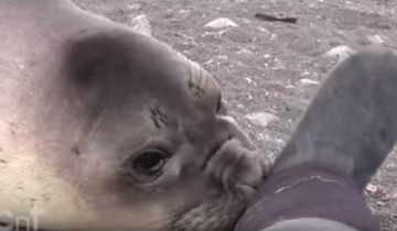 Невероятно! Маленький тюлень решил познакомиться с группой экспедиторов