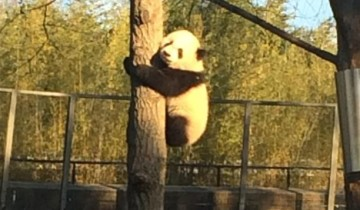 Малыш панды не может слезть с дерева. Вы только посмотрите, как ведет себя его мама!