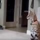 Кот породы сервал нападает на свою хозяйку