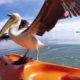 Пеликан на рыбалке. Удивительные кадры!