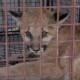 Удивительное спасение горного львенка, который остался сиротой