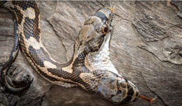 А вы когда-нибудь видели двухголовую змею?