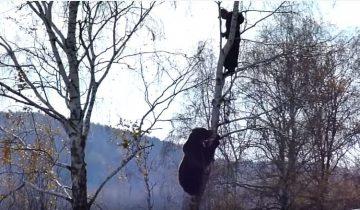 Мужчина из шалаша снимает, как медведь лезет за другим мужчиной на березу!
