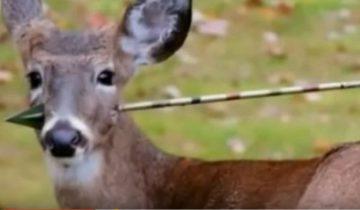 Олень со стрелой в голове обратился к людям за помощью