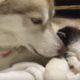 Мама хаски заботится о новорожденном котенке. Самое трогательное видео!