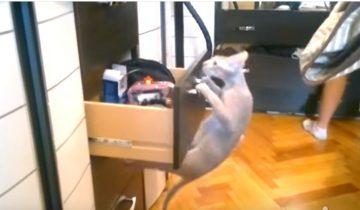 Кошки, которые любят наводить порядок в шкафах