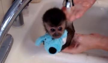 Эта милая обезьянка первый раз моется под краном. Вы только посмотрите, что она вытворяет!