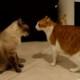 Кошки ссорятся. То, как они это делают, нужно обязательно видеть!