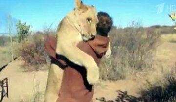 Вот это неподдельная любовь львицы к человеку!