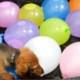 Щенок таксы и водные шары