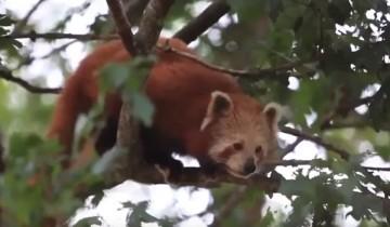 У этой милой красной панды День Рождения. Вы только посмотрите, как она радуется подарку!