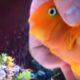 Эта рыбка ждет, пока к ней подойдет хозяин. Вы никогда не догадаетесь, почему?!