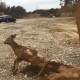 Экскаваторщик спасает олененка, который застрял в грязи