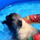 Мопсы плавают в бассейне. Такого вы еще не видели!