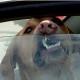 Внимание! Горячий воздух в салоне автомобиля убивает собак!