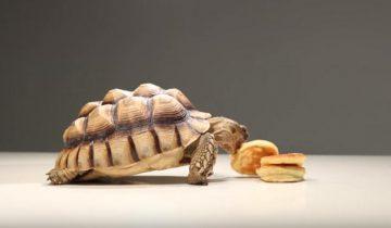 Понравятся ли черепахе эти пышные блины?