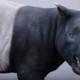Наполовину лошадь и наполовину носорог? Малайский тапир борется за свое существование