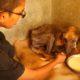 От чесотки на теле собаки появились глубокие раны. Что произошло с ней через 6 недель?