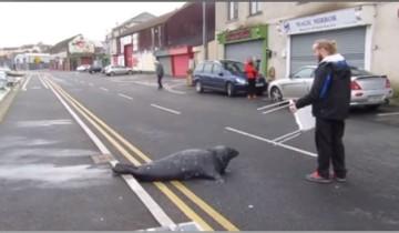Каждый день этот тюлень переползает дорогу. Как вы думаете почему?