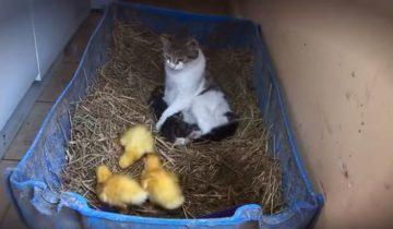 Кошка думает, что она мама утят. Класс!