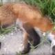 Эта лиса была сбита насмерть, но случилось чудо!