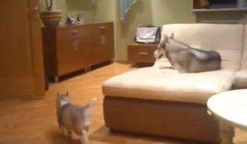 Мама хаски играет со своими щенками