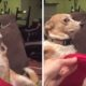 Собака наотрез отказывается признавать свою вину. Но как мило она это делает!