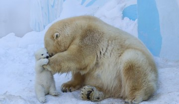 Белый медвежонок впервые играет со своей мамой на снегу