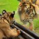 Первая встреча тигренка со взрослой тигрицей. Его реакция умиляет!
