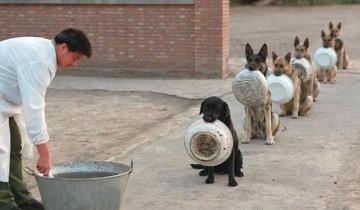 Как полицейские собаки в Китае стоят в очереди за едой?