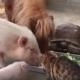 Свиньи, пони и коты едят из общего корыта